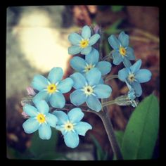 """Myosotis (Forget-me-not) - In a German legend, God named all the plants when a tiny unnamed one cried out, """"Forget-me-not, O Lord!"""" God replied, """"That shall be your name."""" Another legend tells when the Creator thought he had finished giving the flowers their colours, he heard one whisper """"Forget me not!"""" There was nothing left but a very small amount of blue, but the forget-me-not was delighted to wear such a light blue shade. //Pomněnka //Vergissmeinnicht"""