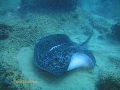 Round ribbontail ray in southern Mozambique