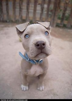 LOVE THE BEAUTIFUL PUPPY AND THE AMAZING BLUE EYES!!!! SO ADORABLE!!!! Fawn Pit #BestDogBreeds #pitbull