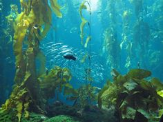 A decimated giant kelp forest in Southern California is making a comeback after volunteers removed almost two million sea urchins that devour the plants. The Bay Foundation reports that the… Forest Mural, Kelp Forest, Web Design, Monterey Bay Aquarium, Marine Environment, Life Aquatic, Underwater World, Ocean Life, Sea Creatures