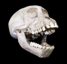 Those human like teeth! Linnaeus, Baboon, Lion Sculpture, Skull, Statue, Beautiful, Bones, Perspective, Teeth