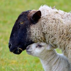 31 Fuzzy Little Lamb Pictures To Brighten The Day Lamb Pictures, Weird Pictures, Farm Animals, Funny Animals, Cute Animals, Baa Baa Black Sheep, Cute Lamb, Cute Sheep, Animals
