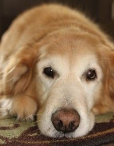 My handsome Rascal! Really Cute Dogs, I Love Dogs, Best Dog Breeds, Best Dogs, Doggies, Dogs And Puppies, Golden Heart, Dog Stories, Golden Days