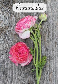 Hot Pink Variegated Ranunculus