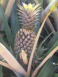 Ananas  #polinesia #ananas