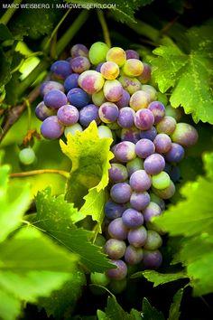 grapes on vine picutes