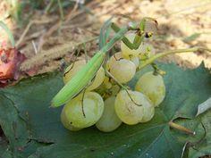 Imádkozó sáska 012. Eggplant, Fruit, Vegetables, Nature, Naturaleza, The Fruit, Vegetable Recipes, Eggplants, Natural