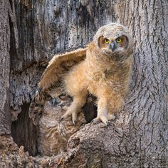 Great Horned Owlets by weshorner #animals #animal #pet #pets #animales #animallovers #photooftheday #amazing #picoftheday