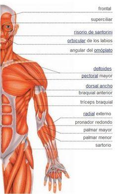 Tono Muscular: resistencia a la movilización pasiva. se mantiene mediante el arco reflejo miotático medular y está influenciado por la vía piramidal, extrapiramidal y cerebelo. El tono de cualquier grupo muscular depende de su localización, la posición del individuo y la capacidad de relajar los músculos de manera voluntaria.