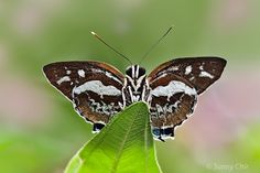 Butterflies of Singapore: Butterfly of the Month - December 2011