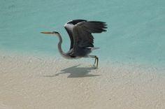 #Maldive, isola Eriyadu. Ecco un leggiadro abitante