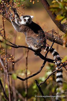Ring-tailed lemur, Madagascar. Travel to Madagascar with ISLAND CONTINENT TOURS DMC. A member of GONDWANA DMC, your network of boutique Destination Management Companies for travel across the globe - www.gondwana-dmcs.net