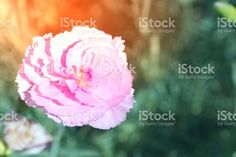 Pink Carnation Flowers in Bloom royalty-free stock photo Pink Carnations, Blooming Flowers, Abstract Photos, Image Now, Flare, Royalty Free Stock Photos, Rose, Nature, Plants