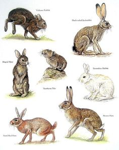 Items similar to Rabbits - Volcano Rabbit, Northern Pika, Brown Hare, Snowshoe Rabbit - Vintage Animal Book Plate Page on Etsy Animal Facts, Animal 2, Mundo Animal, Pika Animal, Animals Of The World, Animals And Pets, Cute Animals, Rabbit Art, Tier Fotos