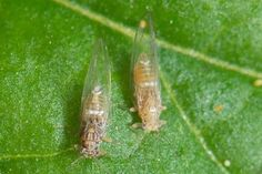 Bactericera cockerelli, nymph cases, nymph and adult