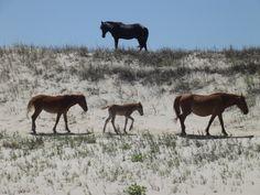Keeping Watch - Wild Horses at Swan Beach in Corolla, NC.  Connie Yokeley photo.