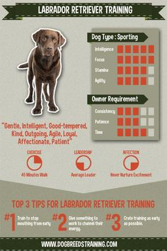 Labrador retriever training infographic and stat. Check out my full article!