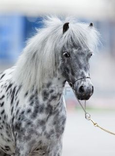 Very Pretty Coloring on this pony. The gray look of the spots is due to appaloosa roaning pattern, as horses with a gray parent are excluded in the appaloosa breed