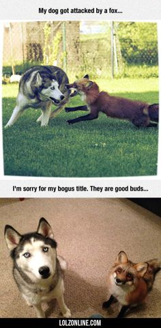 My Dog Got Attacked Bt A Fox.#funny #lol #lolzonline