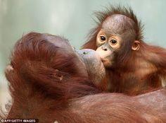 Give us a kiss: Monkey mama plants a smacker on the lips of the orangutan baby…