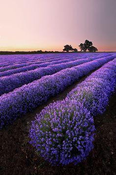 Lavender Explosion <3 by Graham McPherson