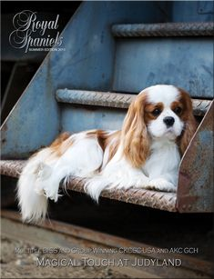 The Royal Spaniels Magazine about Cavalier King Charles and English Toy Spaniels