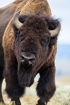 American bisonBos bison bull in Yellowstone Parkx Animals Of The World, Animals And Pets, Cute Animals, Animal Bufalo, Beautiful Creatures, Animals Beautiful, Le Bison, Buffalo Pictures, Bison Pictures
