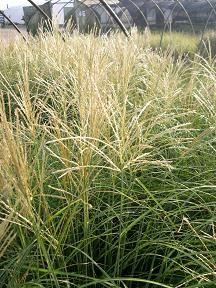 Miscanthus sinensis 'Adagio'. Adagio Japanese Silver Grass.