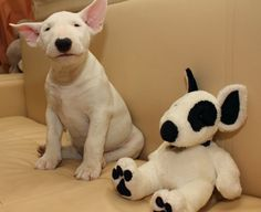 BULL TERRIER & Buddy ~ Off the charts on the cuteness scale