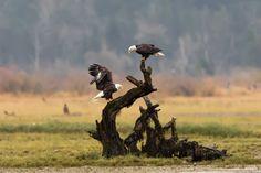 Bald eagles, by Liron Gertsman.