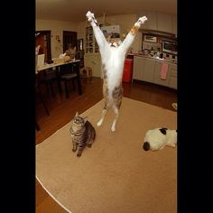 今日のカステラちゃん。Y!Jump! Today'sCastella-chan. Y! Jump! #ねこ部 #neko #cats #castella - @kachimo | Webstagram