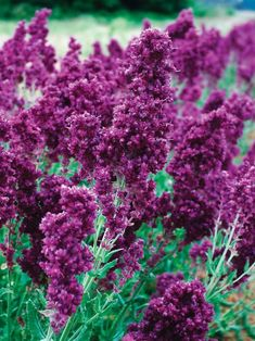 Shop Bluestone Perennials for easy-to-grow perennial Salvia. Meadow sage plants are excellent for a summer show of intense color. Landscaping Plants, Garden Plants, Country Landscaping, Modern Landscaping, Outdoor Landscaping, Landscaping Ideas, Flowers Perennials, Planting Flowers, Long Blooming Perennials