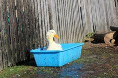 Game of duck #animalworld #duck #serbia #srbija #nature 90