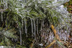 An ice storm created icicles out of the pine needles in north Georgia