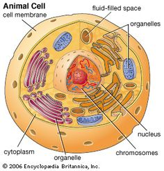 Animal cell, general view