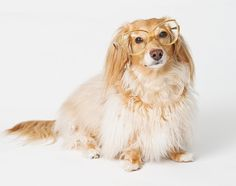 Honey with my old glasses by Doxieone, via Flickr
