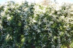 """Discover: """"mile a minute plant"""" products ideas. Shade Garden, Garden Plants, Silver Lace Vine, The Face, Chain Link Fence, Flowering Shrubs, Backyard, Patio, Climbers"""