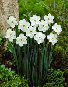 Crisp white petals with a green eye. Daffodil Green Pearl: Estilo de copa pequeña. Este es una de las variedades del daffodil.