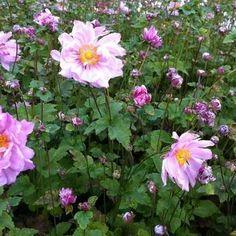 Japanse anemoon - Anemone hybrida 'Mont Rose' | Vaste planten | Planten online kopen | Tuinadvies Plants, Garden, Country Gardening, Front Garden, Anemone, English Country Gardens, Rose