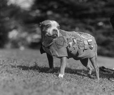 From Caesar Milan: Stubby was the most decorated dog of World War I. He was adopted by Private J. Robert Conroy and became the mascot of the 102nd Infantry, Yankee Division. He learned a lot about military life including bugle calls and how to execute a salute with his paw. He was smuggled to France when his owner shipped out and allowed to stay when the commanding officer saw him salute.    After surviving exposure to gas, Stubby became invaluable as he had learned to recognize the scent…