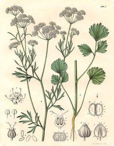 Erbe medicinali - Pimpinella-anisum Botanical Drawings, Flora And Fauna, Schmidt, Botany, Vintage Images, Illustration, Free Printables, Calendar, Plant