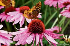 The Value of Choosing Native Plants over Non-native Ones.    Photo: Butterfly on native coneflower