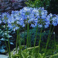 Agapanthe, Agapanthus blue Heaven en pot de 2L.