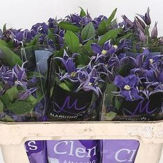 Clematis Blue Pirouette is a pretty blue/purple variety - Seasonal Flowers - 2018 Wedding Trend: Ultra Violet Purple. For lilac and purple wedding flowers to suit your colour scheme, visit our website at www.trianglenursery.co.uk/fresh-flowers!