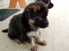 German Shephard puppy