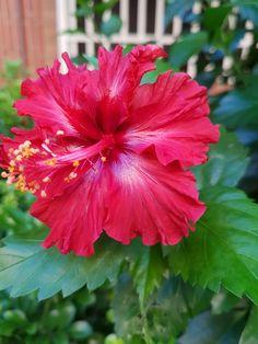 Les hibiscus syriacus du jardin | Pinterest | Hibiscus, Flowers and ...