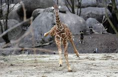 Dave, a 5-month-old giraffe calf, takes off running after it was startled by a goose in the Habitat Africa exhibit at the Brookfield Zoo in Brookfield. This was the first time Dave had been outside.