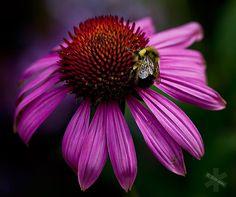 flight of the bumblebee, by dawn leblanc