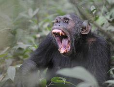 Chimpanzee at Kibale, Uganda by Gunnar Pattersson via Flickr.
