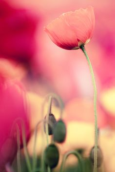 Poppy by Takeru Hara, via 500px